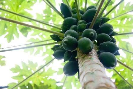 Green papaya and papaya trees Stock Photo - 10366661