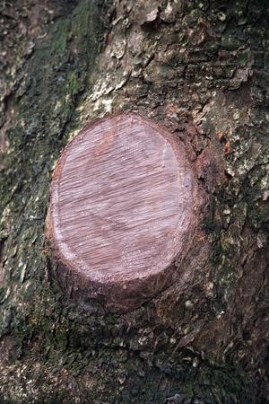 boom kappen: Boom snijvlak van de boom