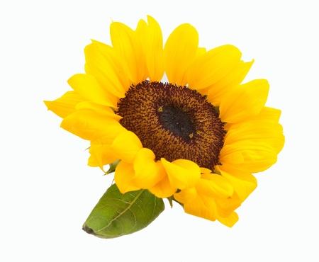 Sunflower shot on isolated white Stock Photo - 13325926