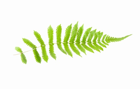 furled: Green fern isolated on white Stock Photo