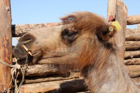 husbandry: Animal husbandry on the Mongolian grasslands near Hohhot