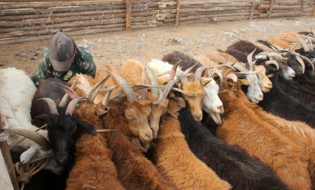 livestock sector: Animal husbandry on the Mongolian grasslands near Hohhot