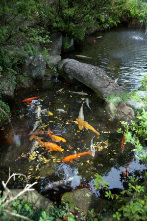 gold fish pond of japanese house garden Stock Photo