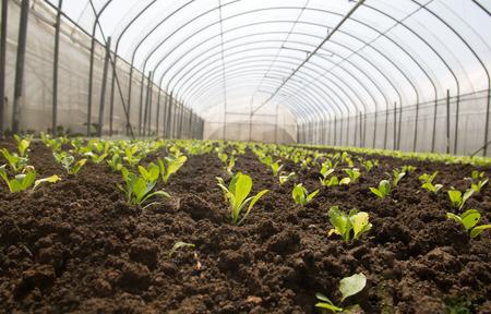 verduras verdes: vegetales verdes de efecto invernadero Foto de archivo