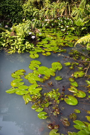 back yard pond: lily pond with hot water