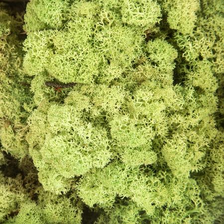 Green lichen photo