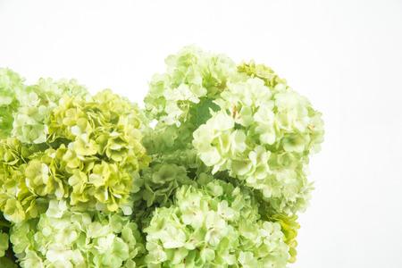 hydrangea macrophylla: fake green Hydrangea macrophylla