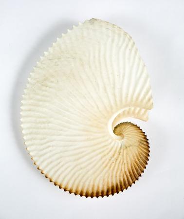 nautilus shell: close up of an amazing fibonacci pattern in a nautilus shell
