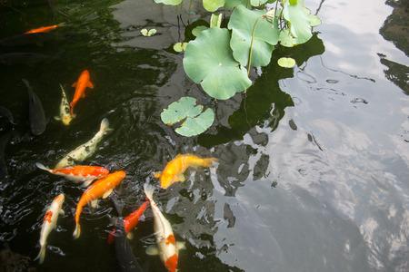 fish pond: japanese fish pond