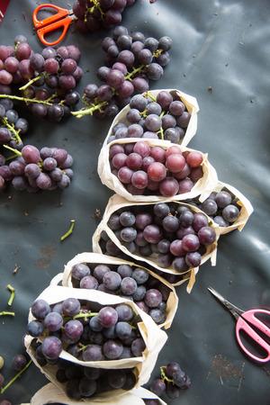 wine grower: grape choosing Stock Photo