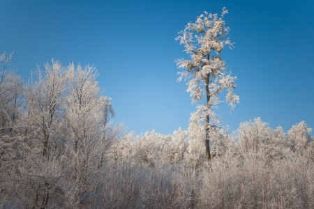 Hoarfrost on tree in frosty sunny day in the winter  photo
