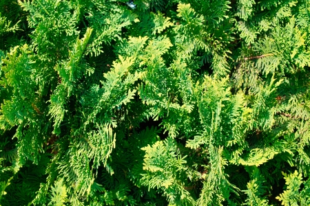 thuja occidentalis: Green Thuja occidentalis Columna texture macro.
