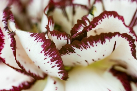 plants species: Dianthus � un genere di circa 300 specie di piante fiorite in famiglia Caryophyllaceae Archivio Fotografico