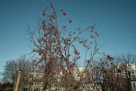 bunchy: L�nea maduras rowan contra el cielo azul en el fondo de la ciudad. Foto de archivo
