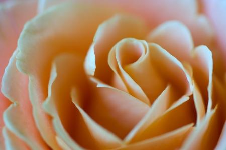 A beautiful pink rose closeup view of petals photo