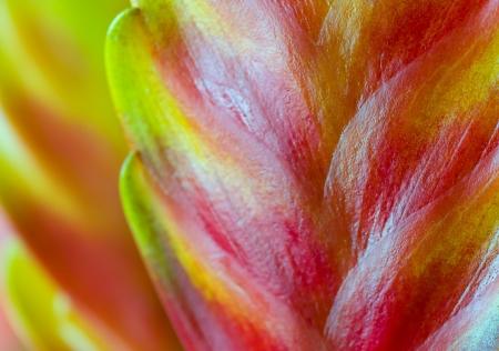 vriesea: Fioritura Flaming Sword, Vriesea splendens nel bel dettaglio e colori