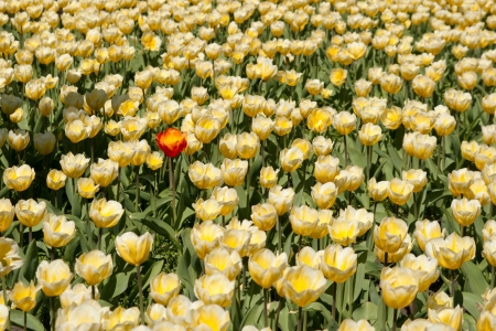 A single red tulip among yellow swarm brothers. photo