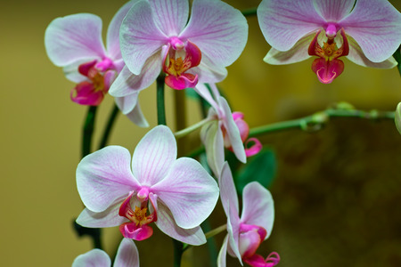 derived: Orchid family, is the largest family of the flowering plants (Angiospermae). Its name is derived from the genus Orchis.