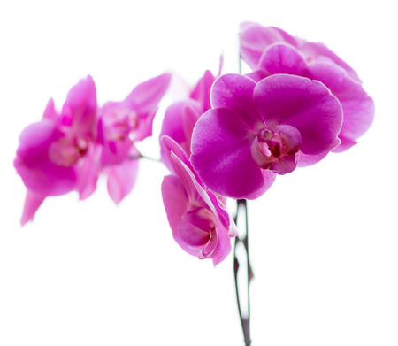 Orchid family, is the largest family of the flowering plants (Angiospermae). Its name is derived from the genus Orchis. photo