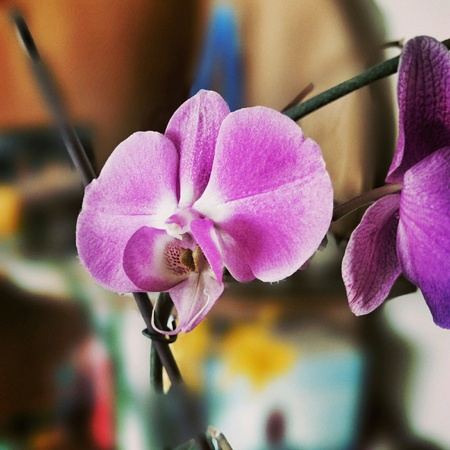 orchidaceae: Orchidaceae flower. Orchid family, is the largest family of the flowering plants. Stock Photo