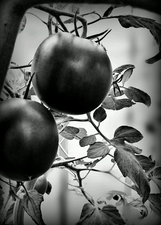 artistic: Red tomatoes.  Artistic look in black and white.