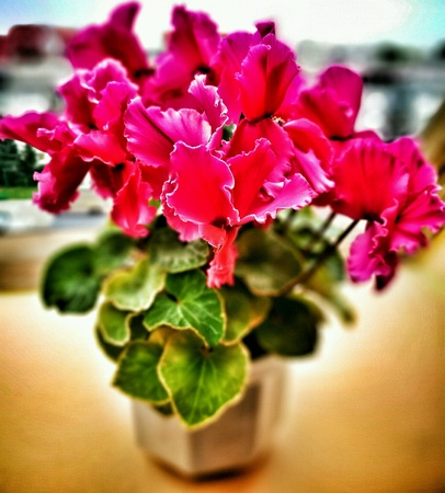 Pink Cyclamen flower.