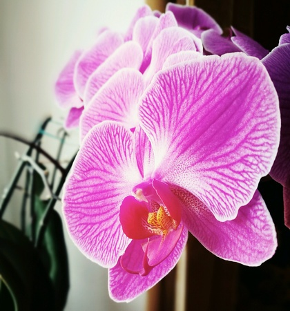 colour: Orchidaceae, Purple orchids, flower from the window. Stock Photo