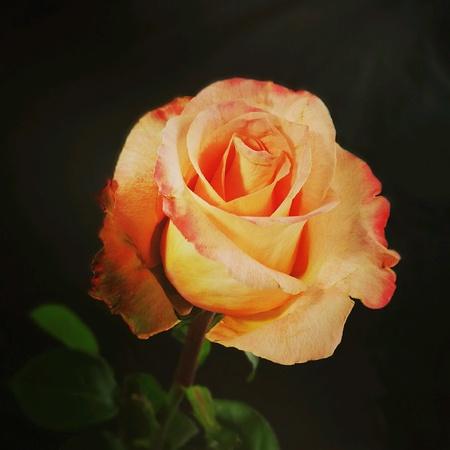 The Rose flower.