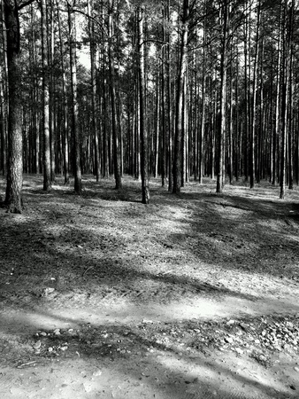 black: Tuchola Pinewoods. Deep forest land in Northern Poland.