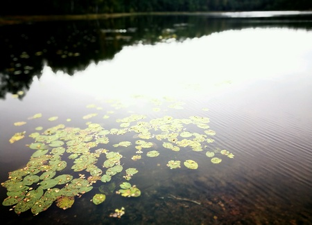 surface: Lily pads on the surface of a pond.