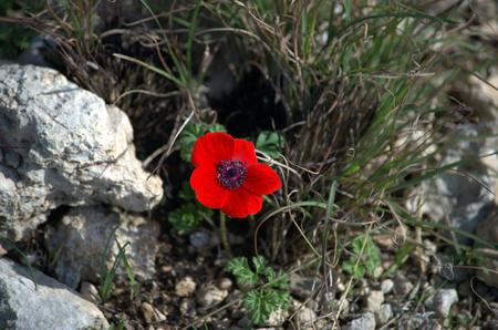 negev: Negev desert flowers