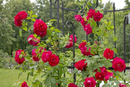 briar bush: blooming rose hip Stock Photo