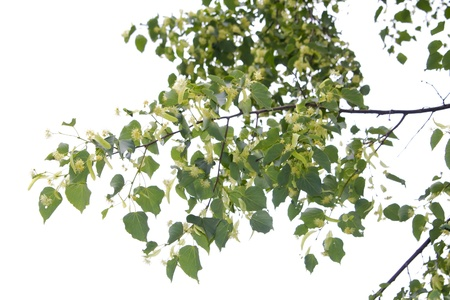 Linden blossom Foto de archivo