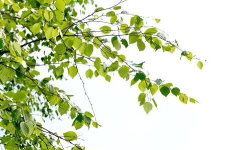 birch branch Stock Photo