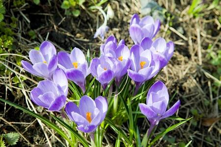 Violet crocus  Crocus vernus  in early spring photo
