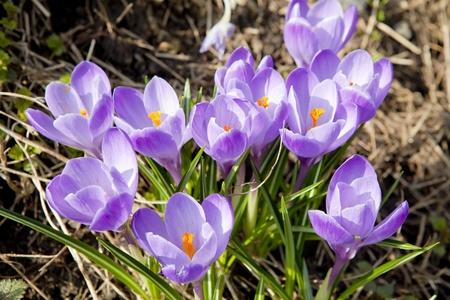 Violet crocus  Crocus vernus  in early spring Stock Photo