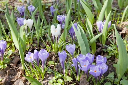 Violet crocus (Crocus vernus) in early spring photo