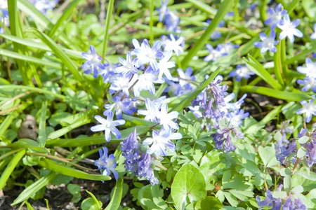 corydalis: Scilla and corydalis sajanensis in a clearing in the woods