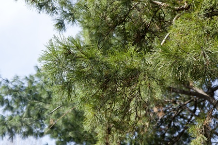 Lush pine branch against the blue clear sky Stock Photo - 13471758