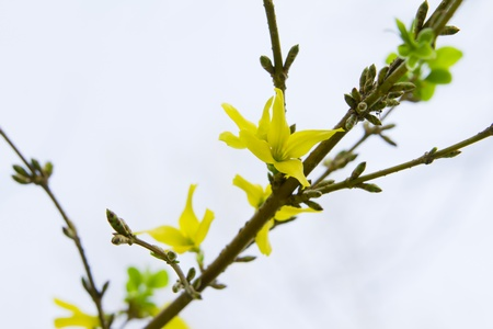 blossom yellow flowers branch Forsythia europaea in nature Stock Photo - 13590332