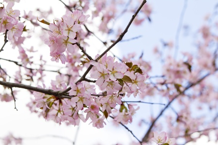 Blossom sakura branch in the garden on a sunny day photo