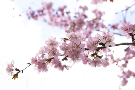 Blossom sakura branch in the garden on a sunny day