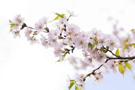 Blossom sakura branch in the garden on a sunny day photo