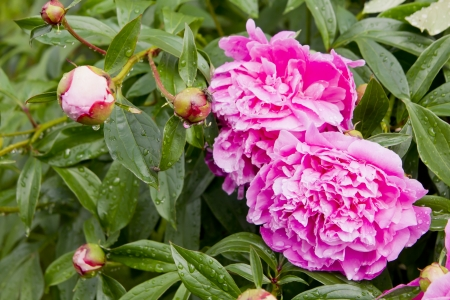 fresh pink peony bush with water drops