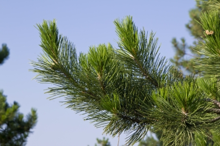 pine needles close up: lush canadian pine branch with a young cone