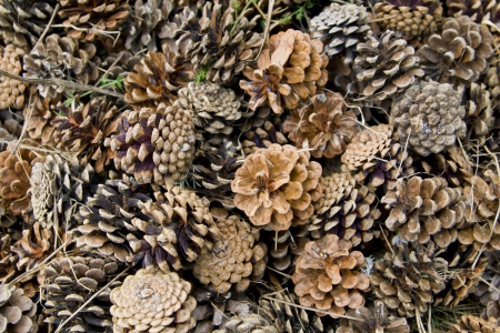 Many old Canadian pine cones in nature background