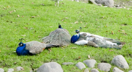 flaunt: Three peackocks lay on the ground in the nature