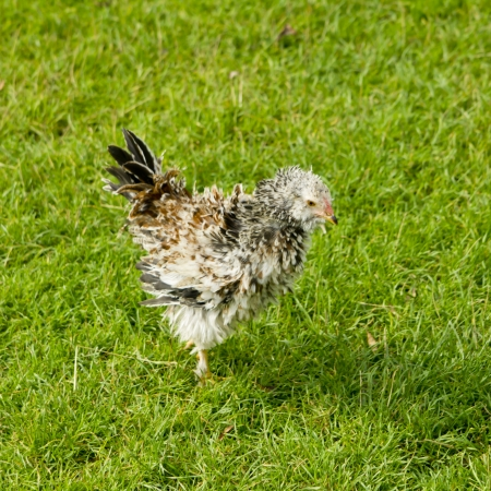 Hairy hen in the agricultural farm