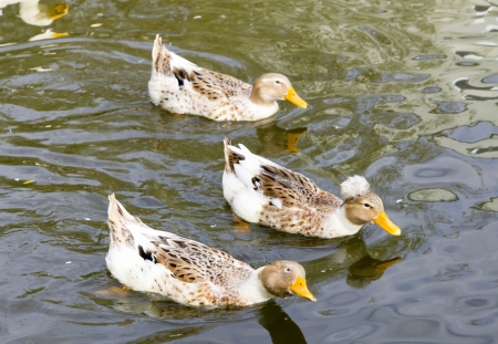 Flock of ducks swimming in the pond at agricultural farm