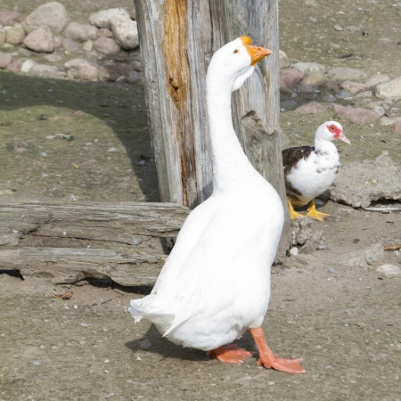 White goose in the agricultural farm Stock Photo - 15750437